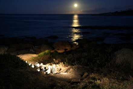 Bicheno, Tasmania Fairy Penguins