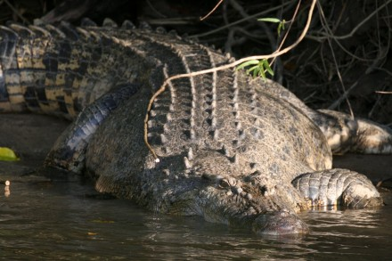Salt Water Crocodile in Cape Tribulation, Queensland