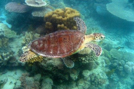 Sea Turtle in Mackay Reef, Great Barrier Reef
